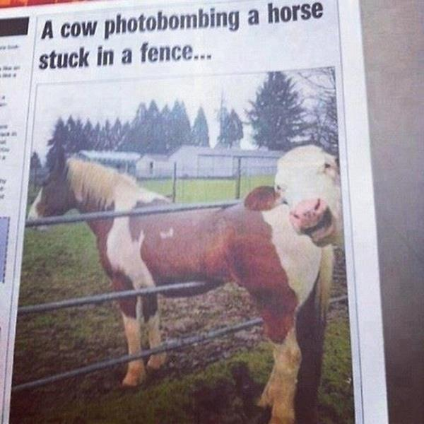 cow photobombs horse stuck in fence