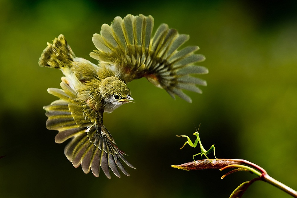 praying mantis takes on a bird