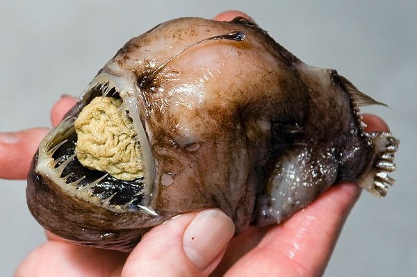 tiny deep-sea anglerfish