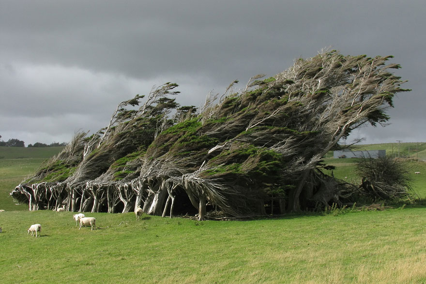 wind-swept trees in new zealand
