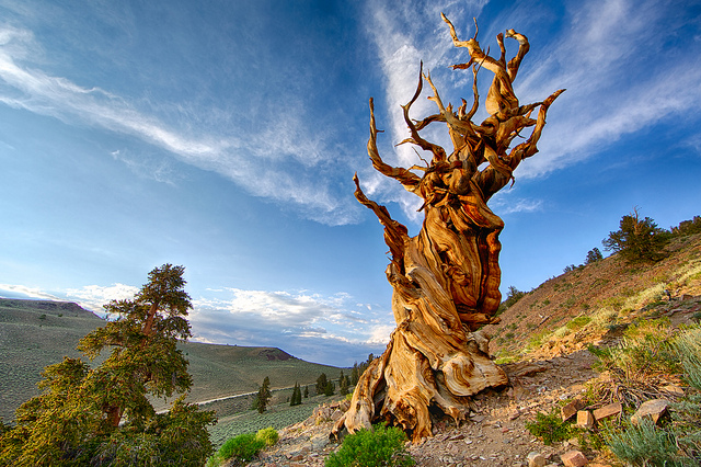 methuselah great basin bristlecone pine